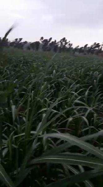 Farm Land for Sale in Lakhimpur Kheri - 10.50 Acre