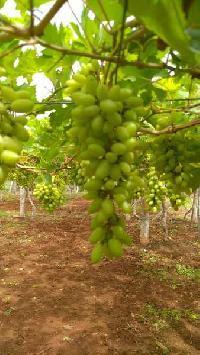 16 Acre Farm Land for Sale in Penukonda, Anantapur