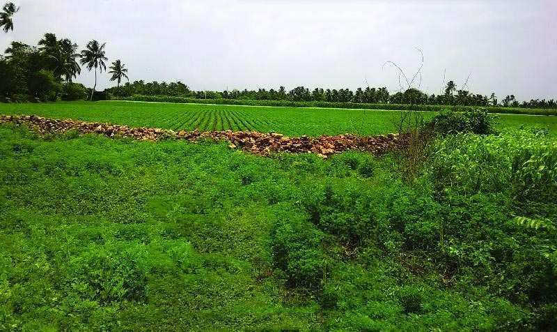 Pasture for Sale in Veraval, Gir Somnath - 12.5 Bigha