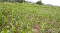 27 Acre Farm Land for Sale in Mangawan, Rewa